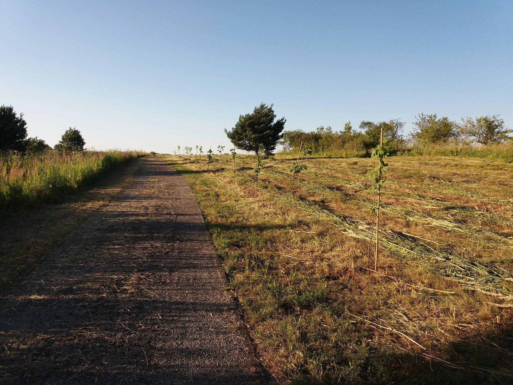 Drzewa nasadzone wzdłuż drogi