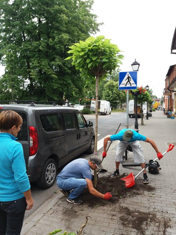 Pracownicy dokonujący nasadzenia drzewa przy rynku