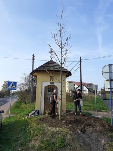 Nowe drzewo przy kapliczce przy ul. Wrocławskiej